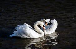 Två svanar på en bakgrund av vatten Royaltyfria Foton