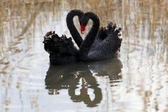 Två svanar på en bakgrund av vatten arkivbilder