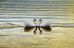 Två svanar på en bakgrund av vatten Fotografering för Bildbyråer