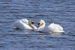 Två svanar på en bakgrund av vatten royaltyfri foto