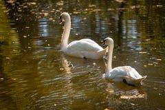 Två svanar på en bakgrund av vatten Två svanar på en bakgrund av vatten Arkivfoton