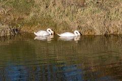 Två svanar på floden Ouse fotografering för bildbyråer
