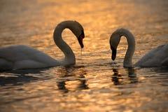 Två svanar på guld- vatten royaltyfri fotografi