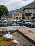 Två svanar på marina av den Malcesine staden, sjö Garda, Italien Arkivbilder