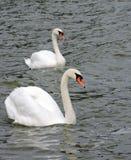 Två svanar på vatten Royaltyfria Bilder