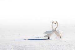 Två svanar som är förälskade på ett snöig fält Arkivbild