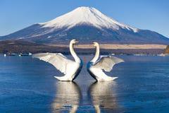Två svanar som fördelar vingar med Fuji bergbakgrund på Yamanakako, Japan arkivfoton
