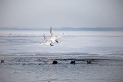 Två svanar som flyger över den djupfrysta sjön Royaltyfri Fotografi