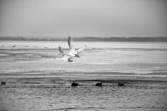Två svanar som flyger över den djupfrysta sjön Arkivfoto