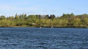 Två svanar som flyger över sjön i ultrarapid arkivfilmer
