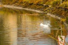 Två svanar som simmar på en flod Royaltyfri Foto