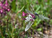 Två Svart-ådrade vita fjärilar på en purpurfärgad blomma Arkivfoto