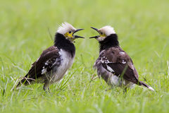 Två Svart-försåg med krage Starling Singing Royaltyfria Foton