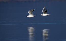 Två svart-hövdade fiskmåsar som flyger på vatten Royaltyfri Fotografi