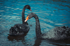Två svart swans Royaltyfri Bild