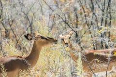 Två svart-vänd mot impala som äter akaciablommor royaltyfri fotografi