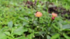 Två svarta bin överst av blommor för krypa tistel som gör pollination lager videofilmer