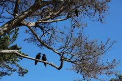 Två svarta fåglar på trädet royaltyfria bilder