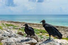 Två svarta gam på kusten med en blå himmel cozumel mexico Royaltyfri Bild