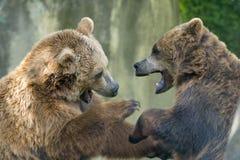 Två svarta grisslybjörnar, medan slåss Royaltyfri Bild