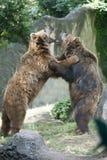 Två svarta grisslybjörnar, medan slåss Arkivfoto