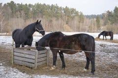 Två svarta hästar i snön royaltyfri foto