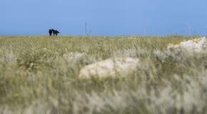två svarta hästar på växten arkivfoto