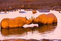 Två svarta noshörningar i waterholen Royaltyfri Bild