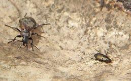 Två svarta skalbaggar på sanden Royaltyfri Fotografi