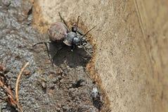 Två svarta skalbaggar på sanden Royaltyfri Bild