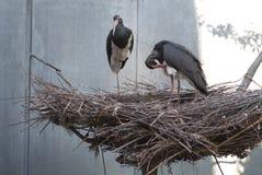 Två svarta storkar i ett stort rede Arkivfoto