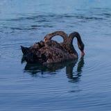 Två svarta svanar i havspöl Royaltyfri Fotografi