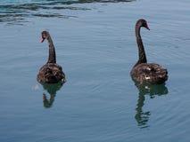 Två svarta svanar i havspölen, bakre sikt Arkivbild