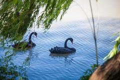 Två svarta svanar i sjön arkivfoton