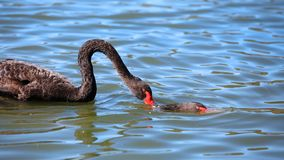 Två svarta svanar i sjön arkivfoto
