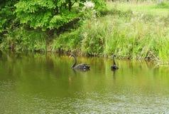 Två svarta svanar i sjön, Litauen arkivfoton