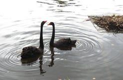 Två svarta svanar i sjön, Litauen fotografering för bildbyråer