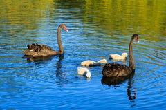 Två svarta svanar och deras barn på en sjö arkivfoto