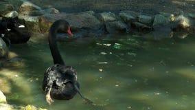 Två svarta svanar som simmar i ett litet damm lager videofilmer