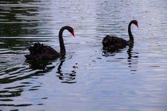 Två svarta svanar som svävar på sjön Royaltyfria Foton