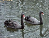 Två svarta svanar som svävar på sjön royaltyfri foto
