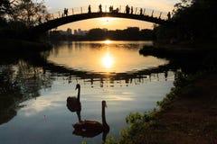 Två svarta svanar som svävar på sjön, medan folket håller ögonen på en färgrik solnedgång, Ibirapuera parkerar, Sao Paulo, Brasil arkivbilder