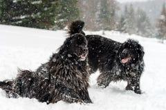 Två svarta vatten-hundkapplöpning som spelar i snö Royaltyfria Foton