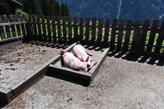 Två svin i bymuseet i Kappl Arkivbild