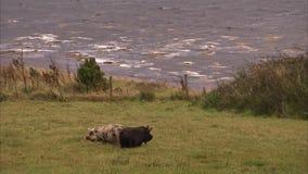 Två svin på fältet stock video