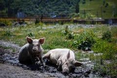 Två svin som sitter i gyttjan i byn royaltyfri foto