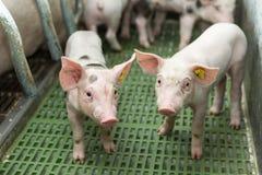 Två svin, svinfarm, roliga spädgrisar arkivbild