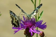 Två Swallowtail fjärilar royaltyfria foton