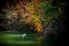 Två swans Fotografering för Bildbyråer