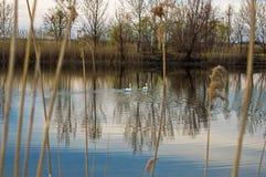 Två swans på laken Fotografering för Bildbyråer